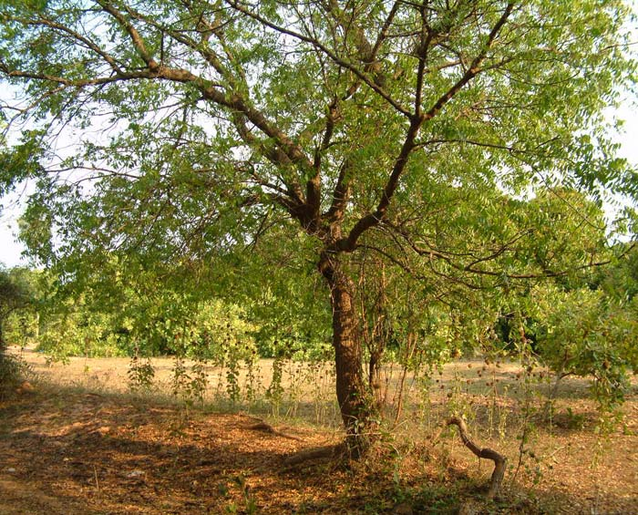 The neem tree